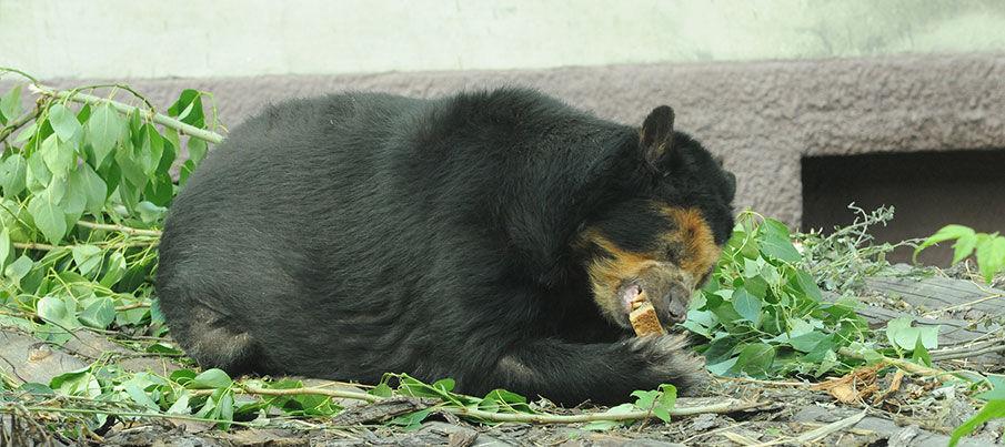 Очковая медведица Луиза