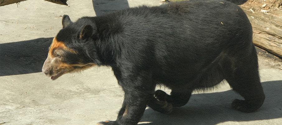 Очковая медведица